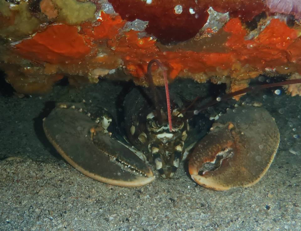 Homard dans une épave, très belle plongée au départ de Carry le rouet, cote bleue, France