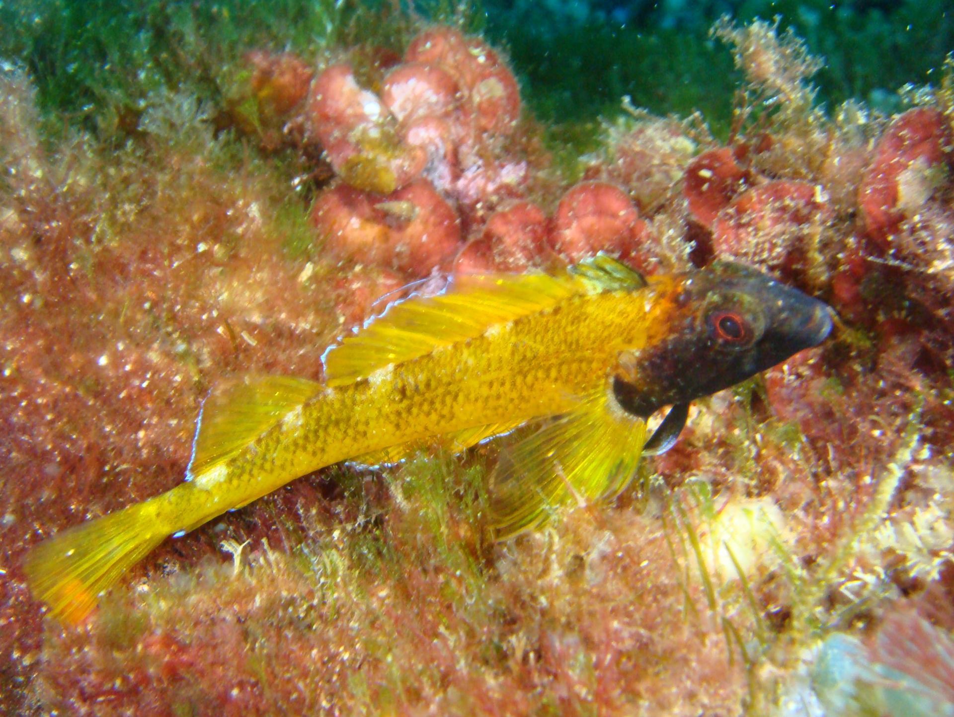 Triytérigion jaune, plongée à carry le rouet, cote bleue, marseille